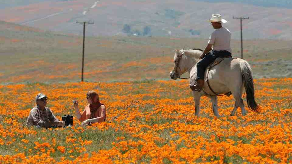 CALIFORNIA POPPIES IN FULL BLOOM IN THE ANTELOPE VALLEY